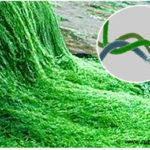 La spirulina: un tocca sana per l'organismo